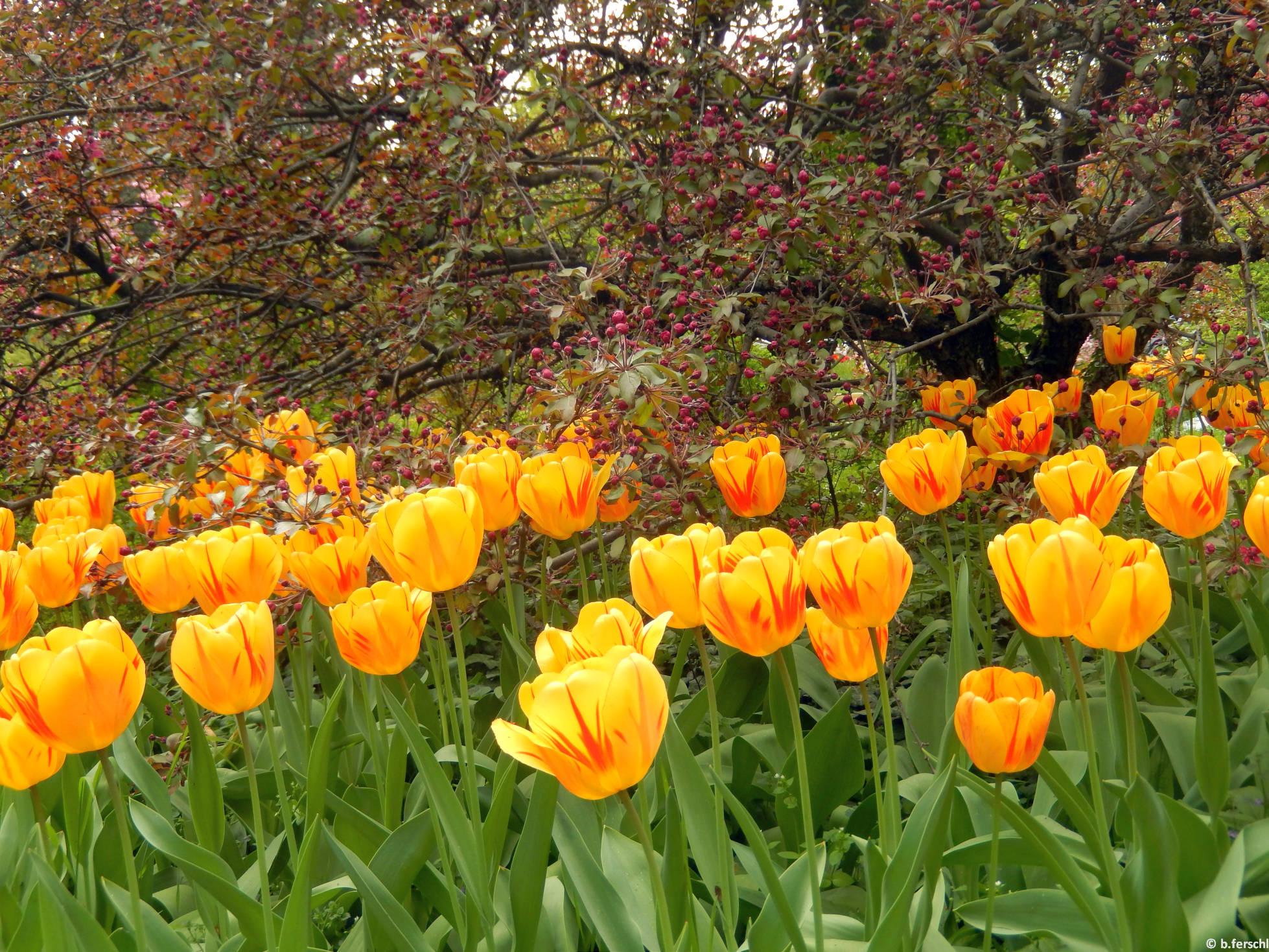 A K-épület hátsó bejáratánál a rózsaszín virágú díszalma még bimbós, de a cirmos, sárga tulipánok már teljes virágzásban állnak