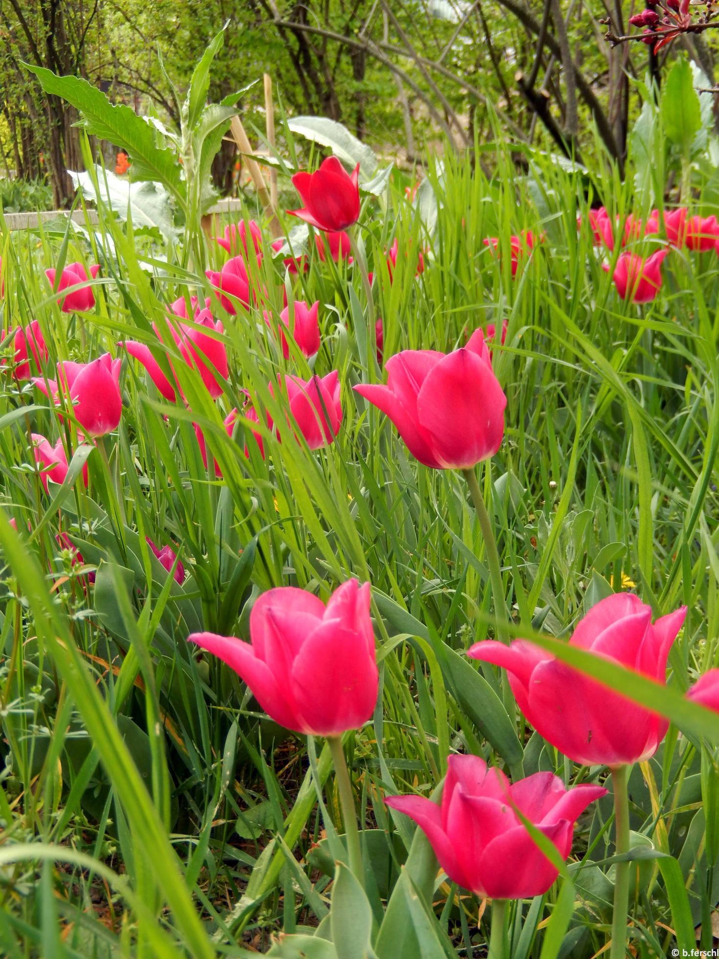Ciklámenrózsaszín tulipánok a Bangitagyűjtemény előtt