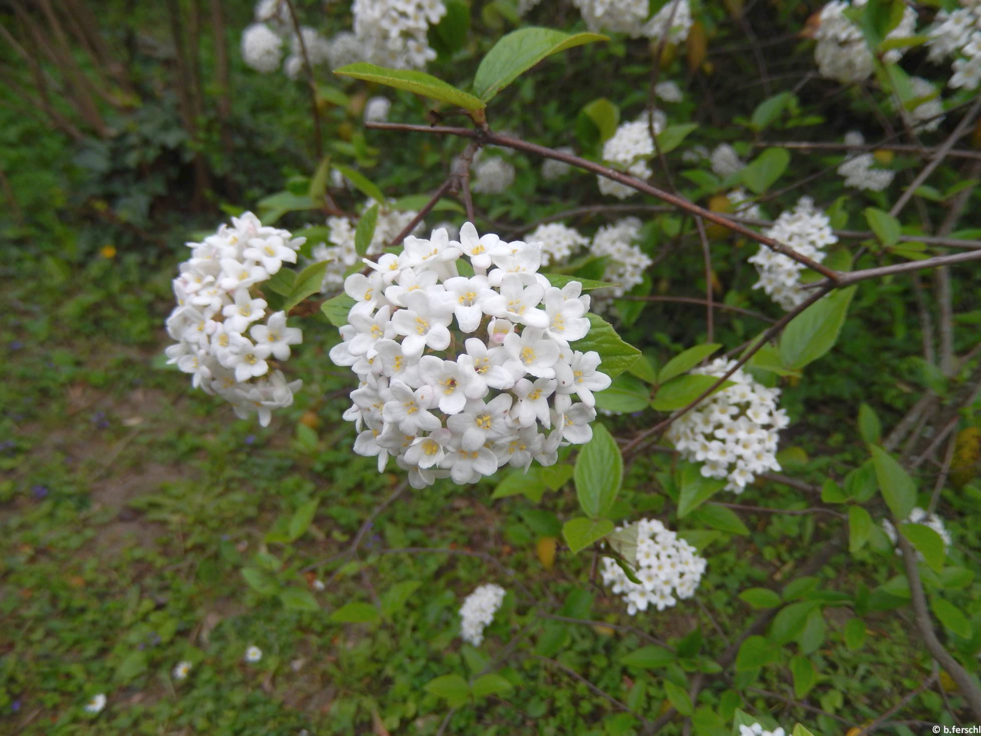 Kányabangita (Viburnum opulus)