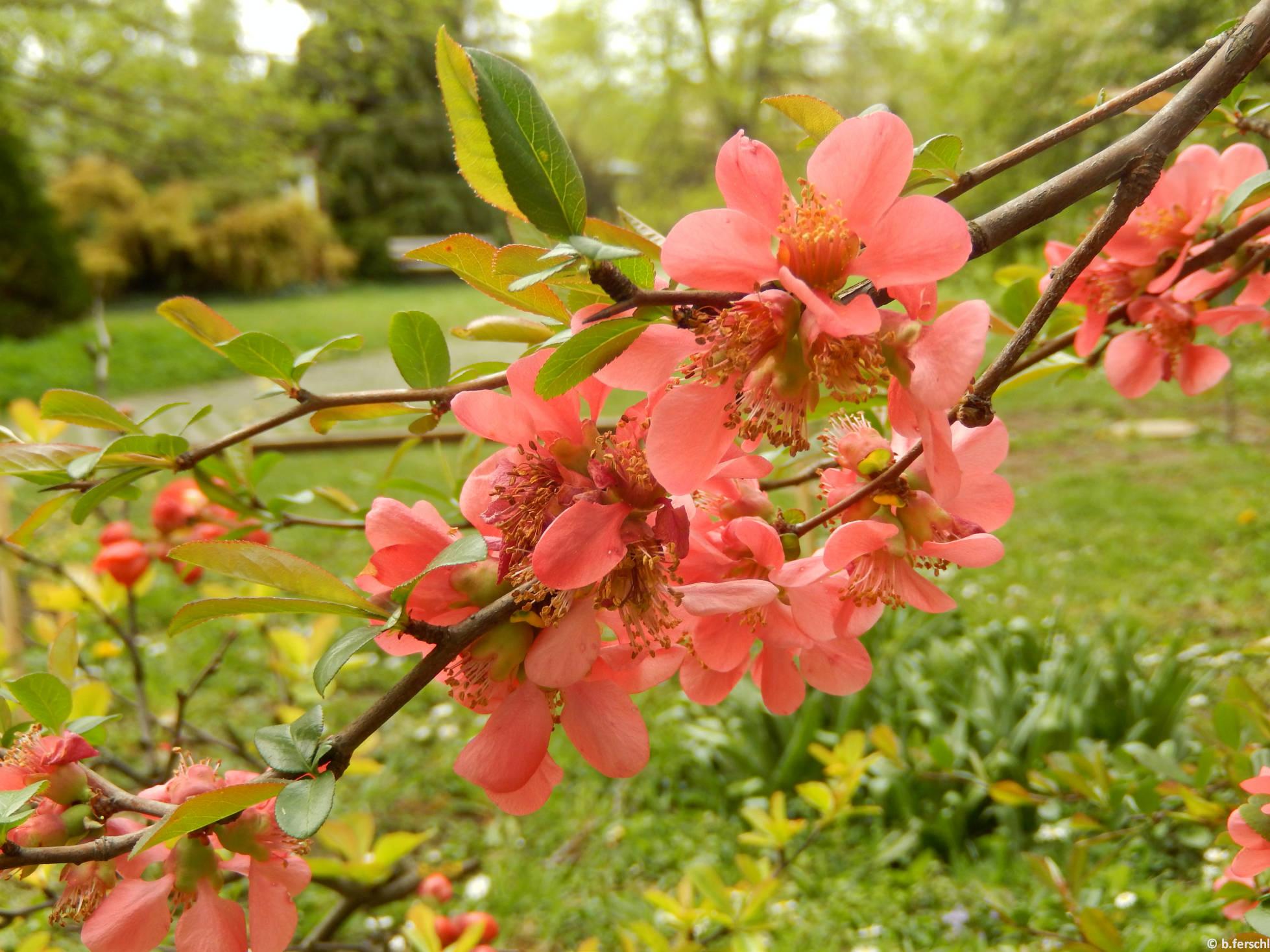 Japánbirs (Chaenomeles sp.)
