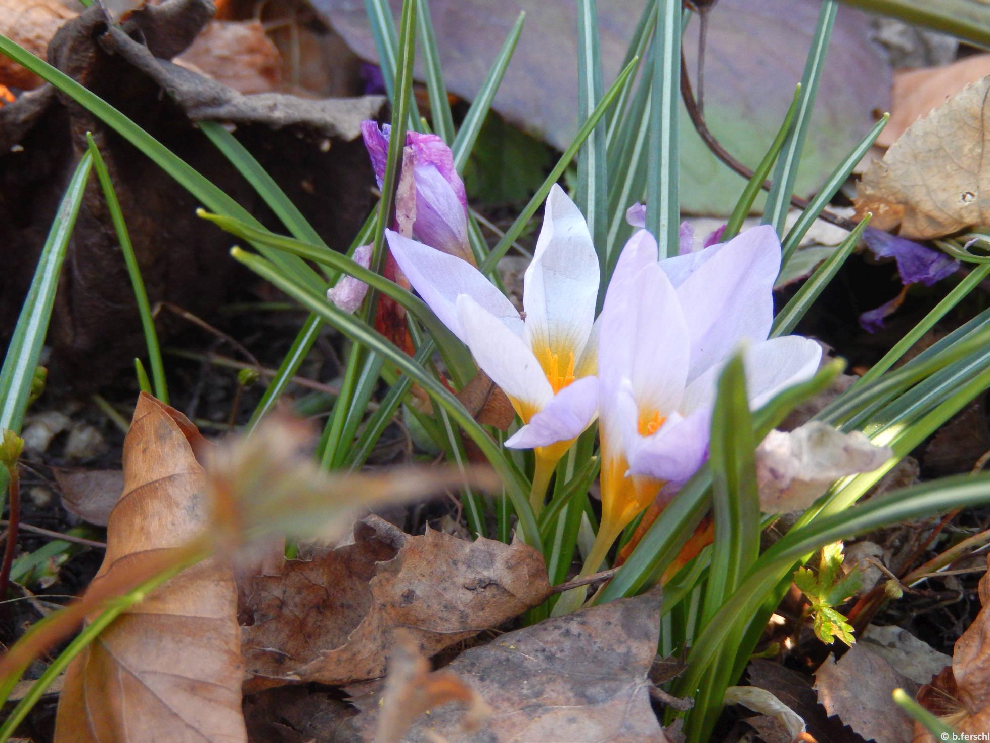 Sárfány (Crocus sativus)