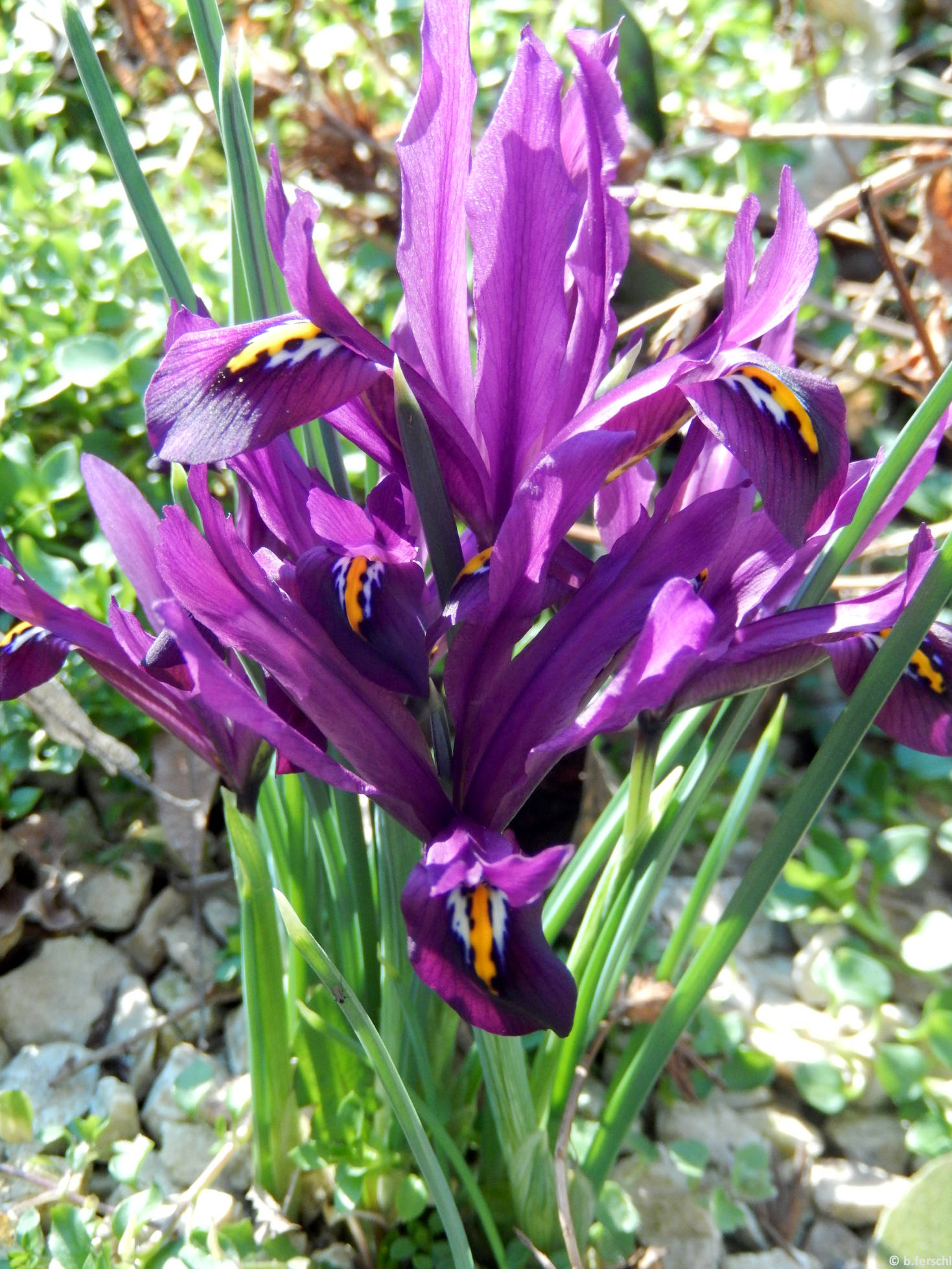 Recéshagymájú nőszirom (Iris reticulata)