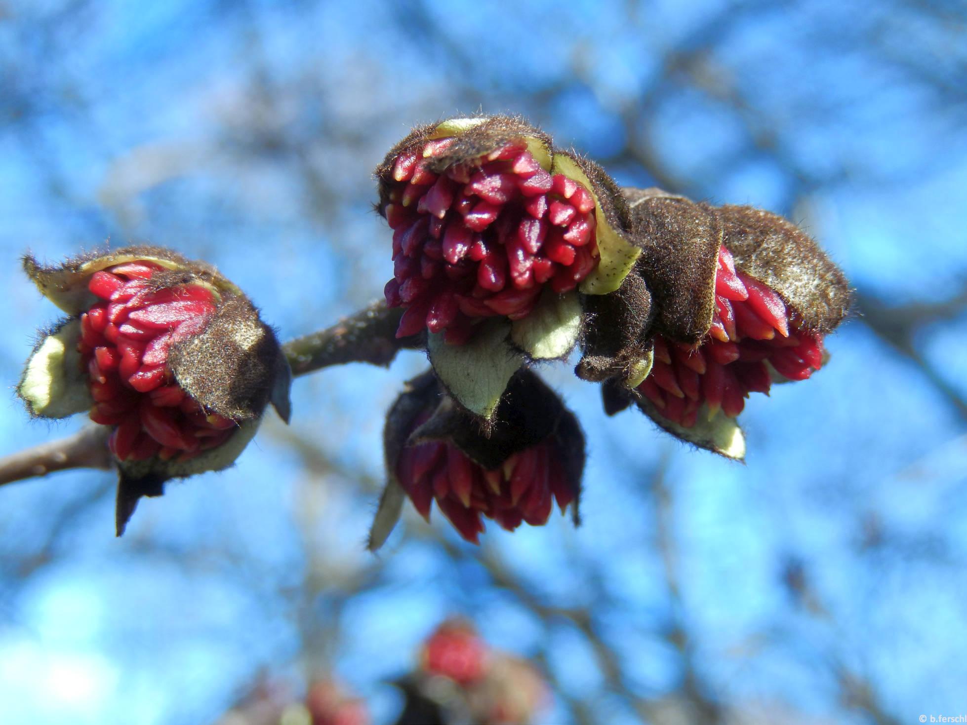 Perzsa varázsfa virágzatai (Parrotia persica)