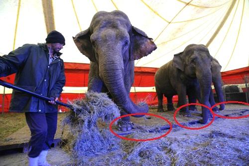 eotvos cirkusz elefantok meglancolva 2.jpg