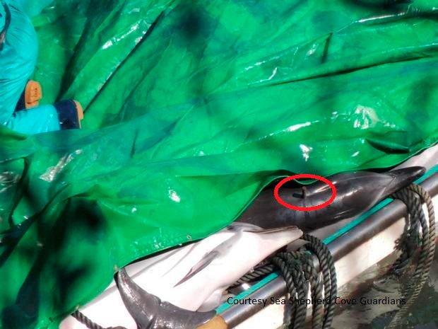 taiji-dead-dolphin-dowel-sscs.jpg