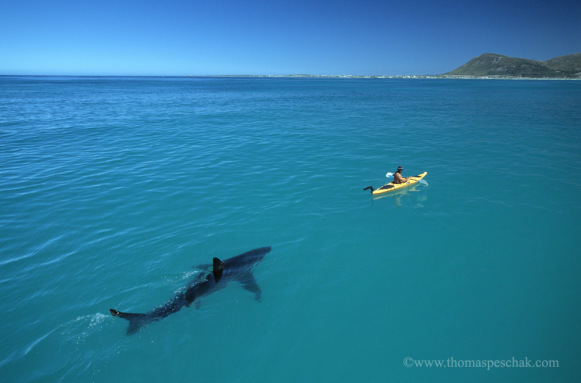 white-shark-kayakthomas-p-peschak.jpg